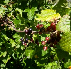 Black Currants can provide both food