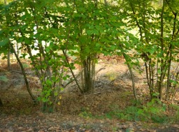 hazel-trees
