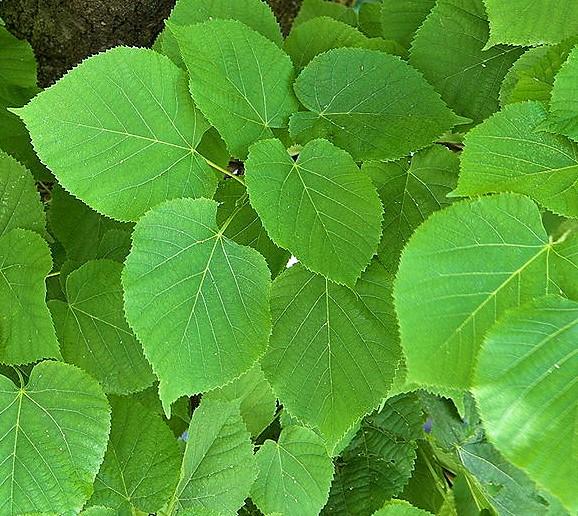 tilia leaves
