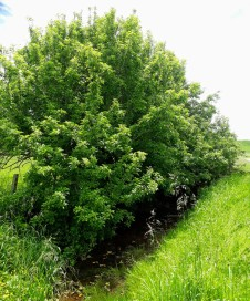Wild seedling apple trees by the roadside ditch