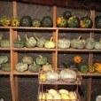 Storing pumpkins for winter