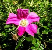 Fragrant single bloom