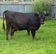 Low-line Angus/Jersey cow