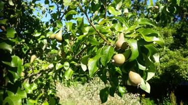Pears growing