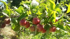 fruit trees are a useful addition for food, forage, bees and shelter